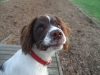 English Springer Spaniel, 5 months, black,brown and white