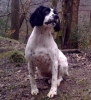 English Springer Spaniel, 2 years, Black & White