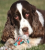 English Springer Spaniel, 8, liver and white