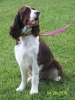 English Springer Spaniel, almost 5, Liver and white tri