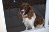English Springer Spaniel, 4 years, Liver / White