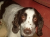 English Springer Spaniel, 8 years old, brown and white