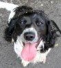 English Springer Spaniel, 2 years, Black and White