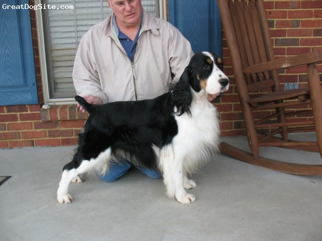 English Springer Spaniel, 4yrs, B/w Tri, Georgio is a beautifull Bench bred Black & white Tri. springer. He has sired some beautiful pups, like his son Banjo. He is also a very sweet and ladid back springer and loves everyone. We love him too !! Springers by Pam & Georgio,