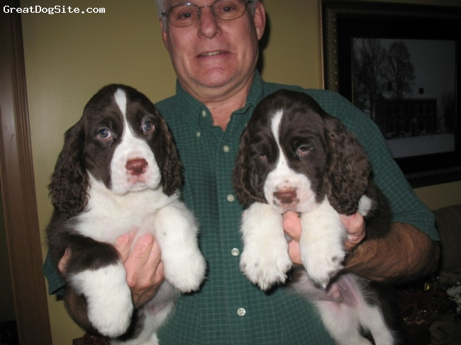 English Springer Spaniel, 8wks, Liver & White, Kelly & Georgio's Beautiful pups