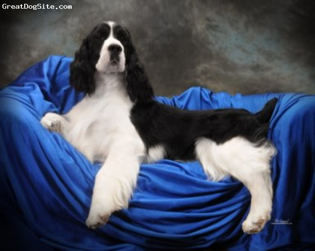 English Springer Spaniel, 2yrs, Black & white, Banjo is a International Champion sired in Ky by Georgio