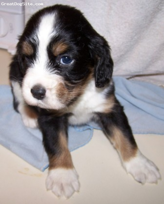 English Springer Spaniel, 4 weeks, black and white tri, Gorgeous male puppy. Will come with tons of TLC, tail and dew claws removed, up to date on all shots and worming, health guarantee. Please visit my website at for more information.