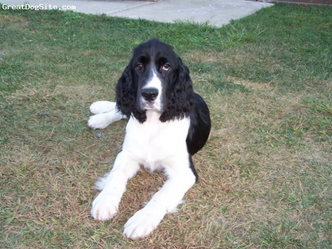 English Springer Spaniel, 5 months, Black and White, Sweet baby boy looking for wonderful loving home to go to. Very laid back and gentle, up to date on all shots, worming, tail and dew claws removed, health guarantee. Please visit my website for my information.