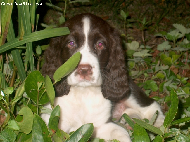 English Springer Spaniel, 4 months, Liver & White, Show Quality Guy from Cypress Creek Kennels