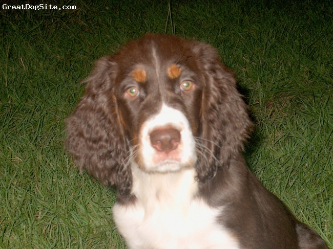 English Springer Spaniel, 3 months, Liver Tri-color, I'm from Cypress Creek.  Come see my Mom, Auntie Montana and Uncle Ozzie! Grandma Sherri will sure welcome you and show you around my beautiful river!