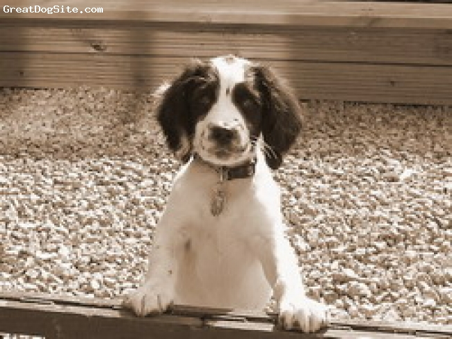 English Springer Spaniel, 4 months, Black & White, Black & White Blacheborne puppy