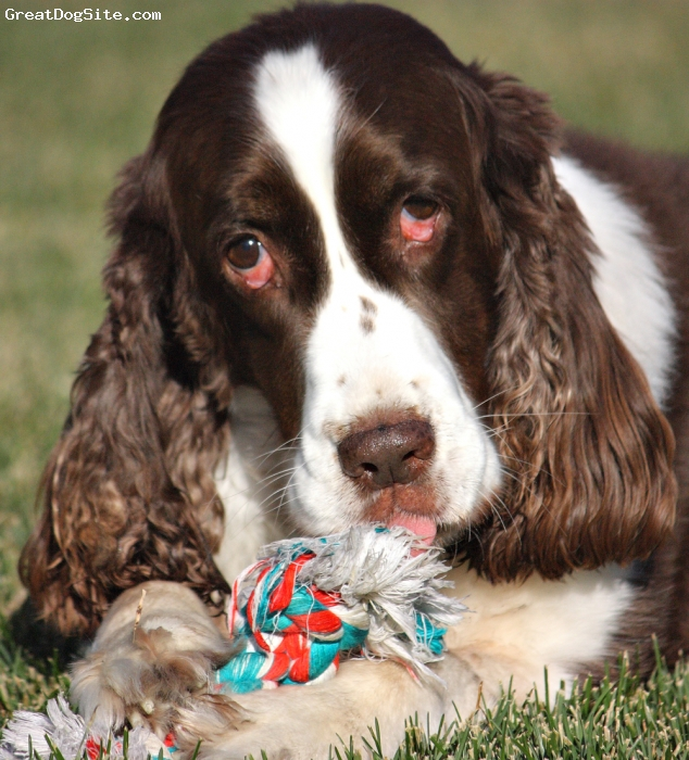 English Springer Spaniel, 8, liver and white, the best dog in the world!