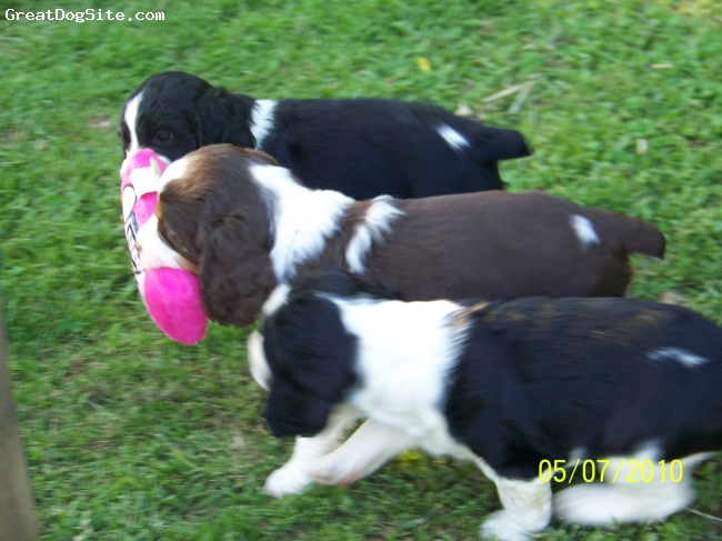 English Springer Spaniel, puppies, black and white/ Liver and white, 2010 puppies playing