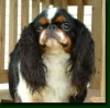 English Toy Spaniel, 1 and a half, tri color