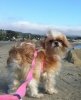 English Toy Spaniel, 18 months, apricot/white