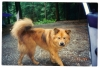 Eurasier, deceased, fawn