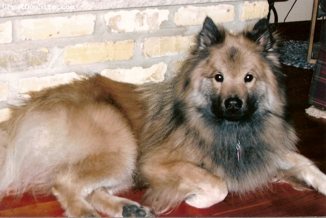 Eurasier, 6 yrs, gray/tan, Gus at 3 years old.
