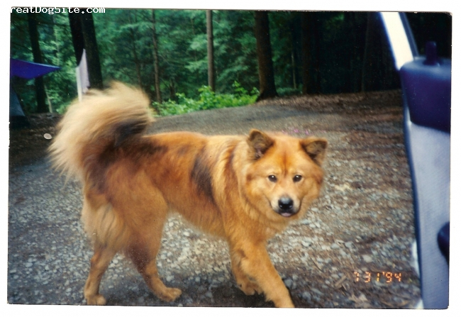 Eurasier, deceased, fawn, See other photo