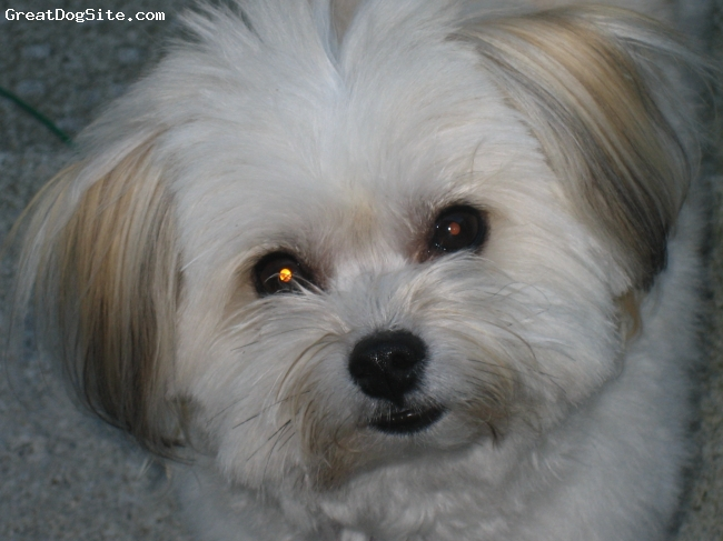 Ewokian, 2, cream, My pom/hav mix is adorable! she is so sweet, the perfect lap dog.  These dogs have great personalities.