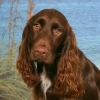 Field Spaniel, not specified, brown