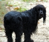 Field Spaniel, not specified, black