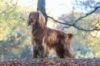 Field Spaniel, 7 years old, liver