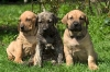 Fila Brasileiro, puppy, gold and brindle