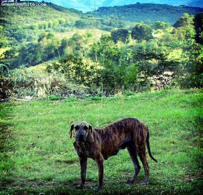 Fila Brasileiro, not specified, brindle, not specified