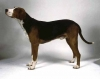 Finnish Hound, not specified, tri-color