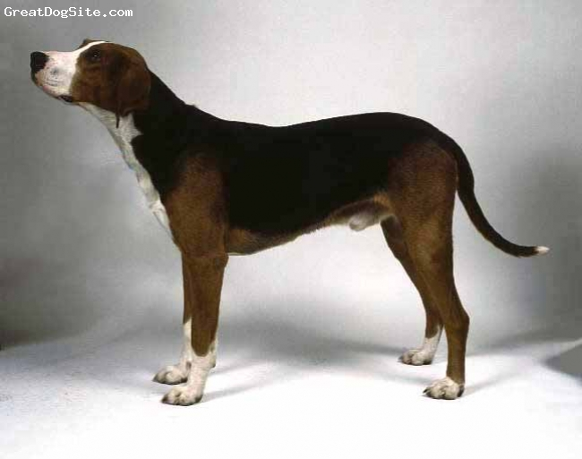 Finnish Hound, not specified, tri-color, not specified