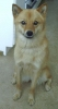 Finnish Spitz, not specified, gold
