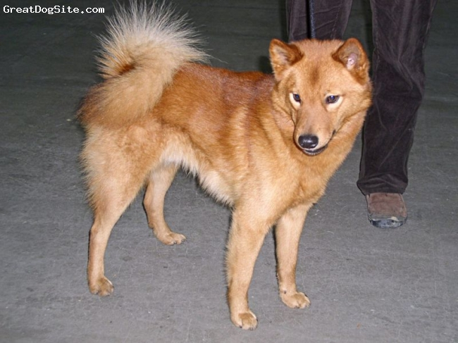 Finnish Spitz, not specified, gold, not specified