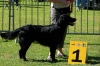 Flat Coated Retriever, not specified, brown