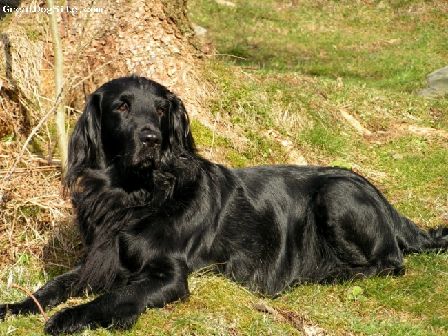 Flat Coated Retriever, not specified, brown, not specified