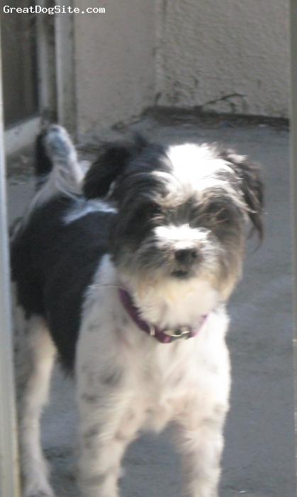 Fo-Tzu, 5, Black and white, My perfect companion, she has perfect manners, never has had an accident, barks rarely. Doesn't shed, but needs to be clipped in the summer... as her hair would drag the ground if you let it grow.  I could not ask for a better dog.