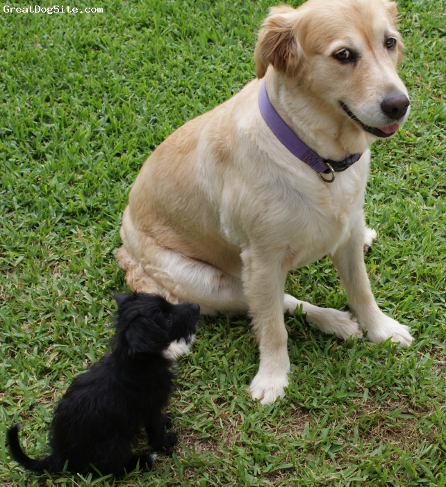 "Foodle, 5 months, Black, Charlie with 7 year old Golden Retriever Bronte ""Will I ever get to be as big as you?"""