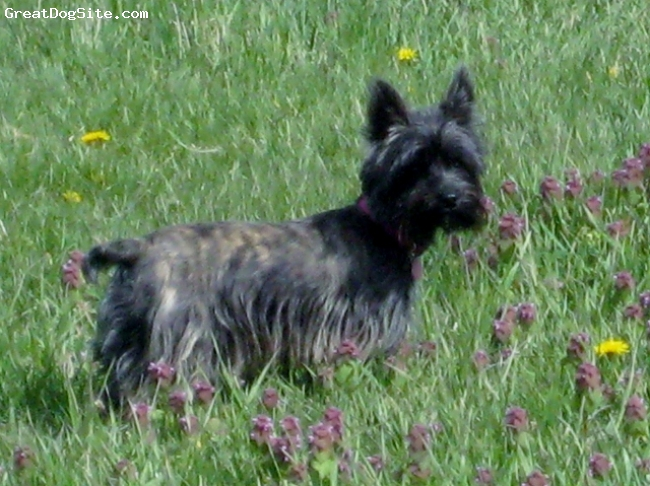 Fourche Terrier, 1 yr., brindle, Tootsie is a Fourche Terrier ; Westie/ Yorkie cross. About 6 pounds. She is a easy, fun dog. Very intelligent, gets along with everyone and thing. We live on a farm and she is great  catching mice and chipmunks. Very loving, sweet , devoted family dog. Non- shedding!! Easy to groom. Fun, fun dog!!