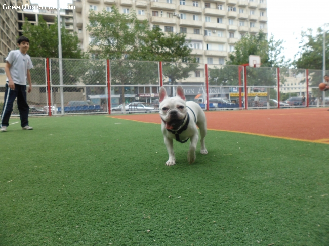 Free-Lance Bulldog, 2, white, She's very kind and funny bulldog.