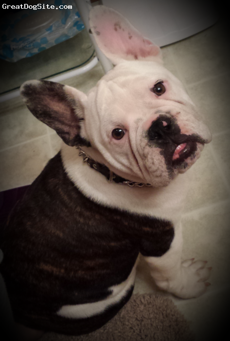 Free-Lance Bulldog, 7 months, Dark Brindle/ White, Jace is an amazing, laid back, loving family dog : )