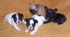 French Bulldog, 7weeks, pieds and brindle 1 fawn black mask