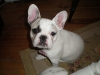French Bulldog, 8 months, white,fawn,pied