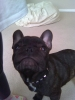French Bulldog, 2, black/brindle
