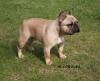 French Bulldog, 11 months, fawn