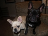 French Bulldog, 11 mo and 5 mo, brindle and cream