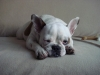 French Bulldog, 8 month, white fawn pied
