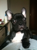French Bulldog, 1.5 year, black