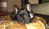 French Bulldog, 6 months, black