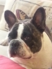 French Bulldog, 1 year and 8 month, Male Pied brindle