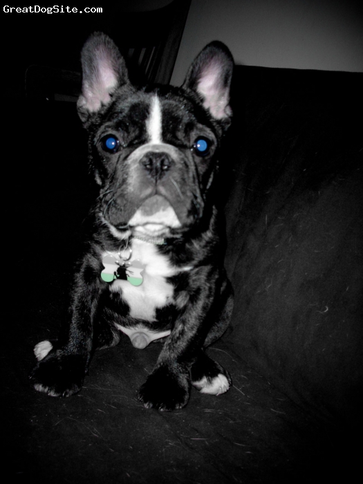 French Bulldog, 4 months, Brindle/white, Chillin like a villian! :-D