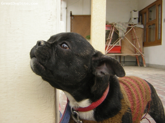 French Bulldog, 1.5, black, i jst luv him......